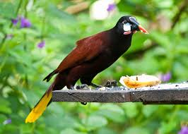 Canopy Birds by Montezuma Oropendola Wikipedia
