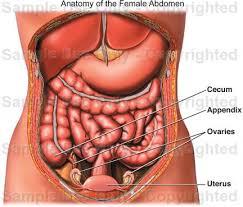 Human Anatomy Torso Diagram Anatomy Of The Female Abdomen Medical Illustration Human
