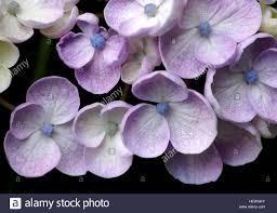 native flowering plants hydrangea is a genus of 70 75 species of flowering plants native
