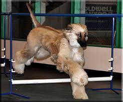 afghan hound breeders qld afghan hound afghan hounds pinterest afghan hound
