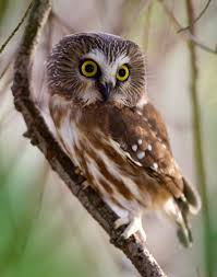 birding bob northern saw whet owl stops in central park
