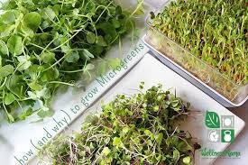 how to grow microgreens at home wellness mama