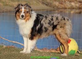 running with australian shepherd puppy faithwalk aussies eyes pigment markings