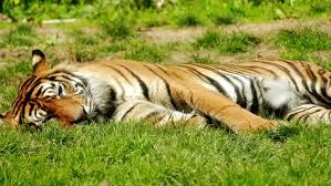 the bengal tiger also called the royal bengal tiger panthera