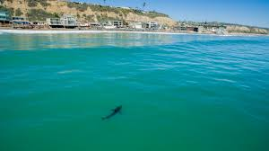 Resume Photo Or Not Adios Sharks Younger Great Whites Leaving Southern California