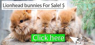 lion heads for sale lionhead rabbit how to care diet lifespan faq with pictures