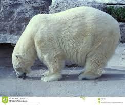 hungry polar bear royalty free stock photo image 338745