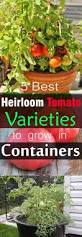 Vegetable Garden In Pots by Growing Heirloom Tomatoes In Pots 5 Best Heirloom Tomato Plants