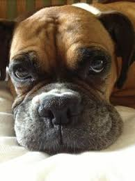 boxer dog keeps coughing pinner stated looks just like my dog except her nails are black