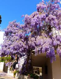 plant from fairytale u2013 wisteria wisteria sinensis