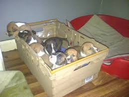 american bulldog x belgian malinois american bulldog x blue staff pups for sale walsall west