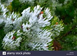 mountain pine branch with snow frosted pine tree twig with cones