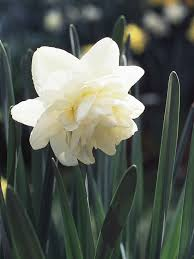 Ideas For Daffodil Varieties Design Daffodil Small Cup Hybrids