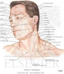 Surface Anatomy Eye Head And Neck Surface Anatomy