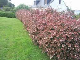 Flowering Privacy Shrubs - 29 best hedges images on pinterest hedges garden ideas and
