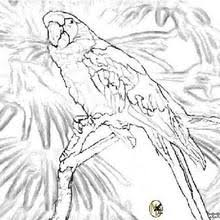 parrots coloring pages parrot to print coloring pages hellokids com
