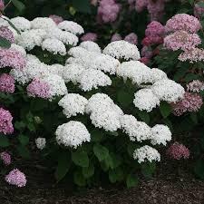 hydrangea care guide wayside gardens