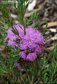 australian native plants brisbane 8 best landscaping ideas images on pinterest