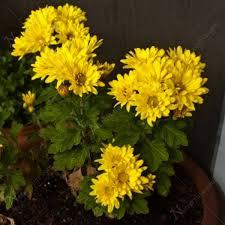 flower plants buy shevanti chrysanthemum yellow plant online at nursery live