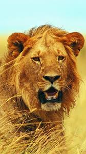 mighty lion close up samsung galaxy note 3 wallpaper animals