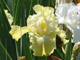 ca native plant nursery iris germanica tb u0027again and again u0027 re matilija nursery