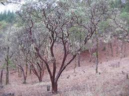 manzanita trees large manzanita trees