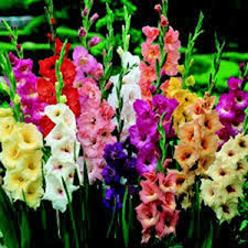gladiolus flowers gladiolus bulb 10 pack pastel mixed mixed