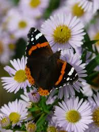 red admiral butterfly on flower photo