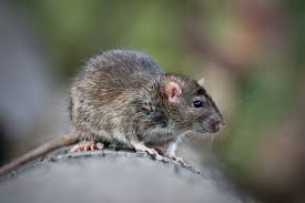 tips on how to get rid of rats outside of your property