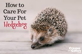 How To Care For Your by Crayons And Collars U2013 Life With Kids And Pets Hedgehogs Archives