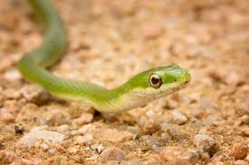 caring for pet green snakes u2014smooth and rough