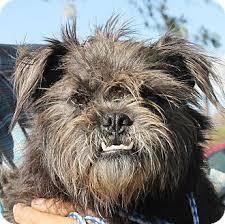 affenpinscher brussels griffon rescue lexington mo brussels griffon meet cheyanna a dog for adoption