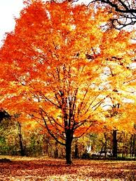 beautiful garden movie the most beautiful trees in the fall sugar maples u003c3 tattoos