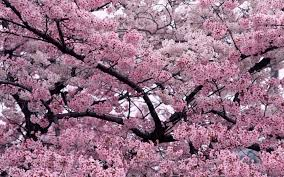 cool trees flower sooo beautifuuuul sakura scenic nice trees blossom beautiful