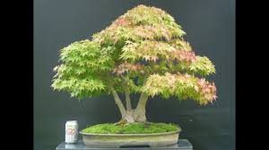 bonsai tree inspiring bonsai best japanese quality show