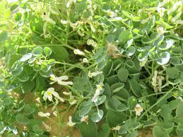 australian native ground cover plants talking plants