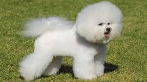 poodle y bichon frise ranking 16 razas de perro más pequeñas y adorables del mundo