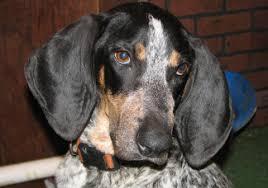 bluetick coonhound cost davis branch blueticks about us