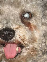 What Causes Dogs To Go Blind Will My Dog Go Blind If He Has Cataracts Pethelpful