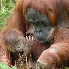 القرود انواعها  ونبذه عنها والصور Images?q=tbn:ANd9GcQO2Ury5ofKzyV0gUcJJ3AWicj34hMQoRlNcU4VN8ip3oGeEbnRDQ