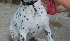 4 australian shepherd x dalmation norick u2013 10 year old male dalmatian cross pointer dog for adoption