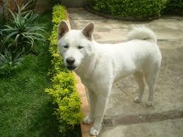 american eskimo dog washington state the 10 most expensive purebred dogs ever rover com