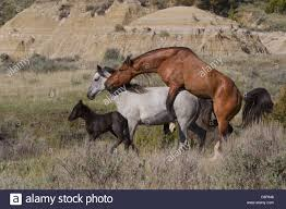 mustangs mating feral horses mating theodore roosevelt national park stock
