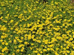 23 best yellow flowers images on pinterest yellow flowers