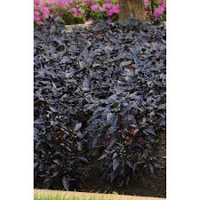 black pearl ornamental pepper seeds ne seed