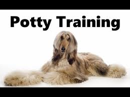 afghan hound good and bad how to potty train an afghan hound puppy afghan hound house