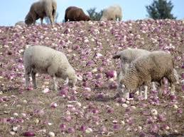 turnips for lamb nutrition shepherd song farm shepherd song farm