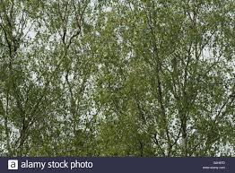 details of small delicate leaves of silver birch tree with many