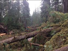 Washington Forest images Mysterious wind blows down big trees in w washington jpg