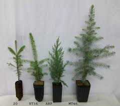 tree seedlings conifers spruce pine fir larch and cedar